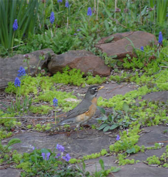 1robin-muscari_edited-11