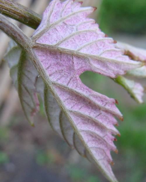 new grape leaf back