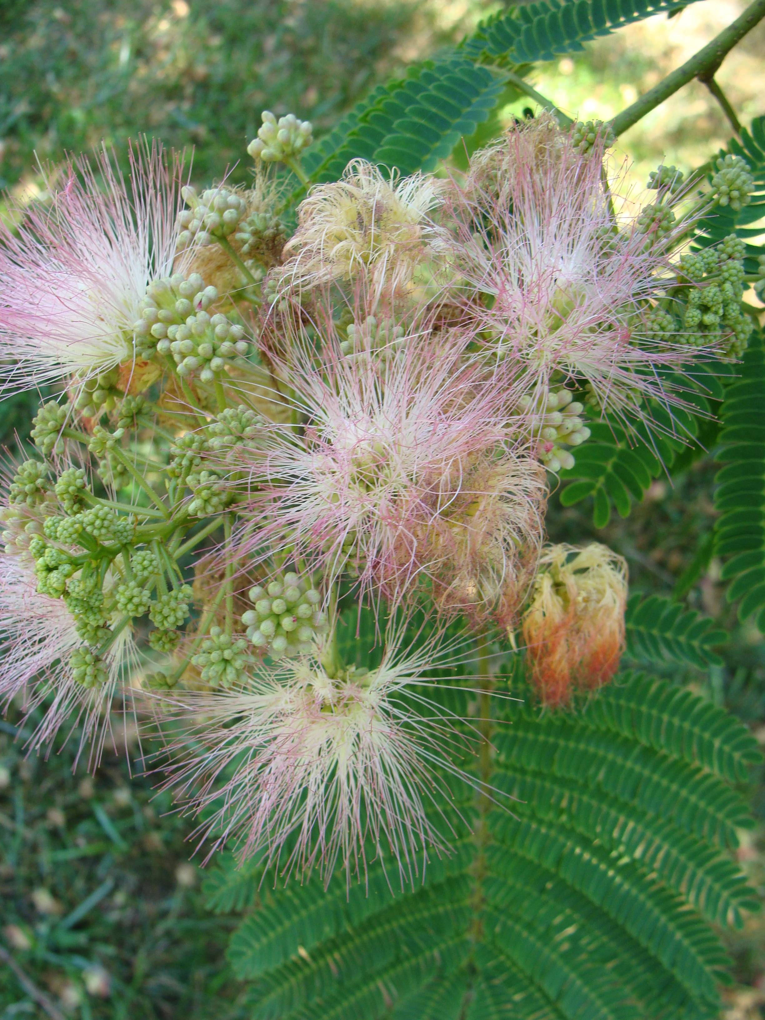 Mimosa trees or Silk trees as they are also known … are fast growing ...