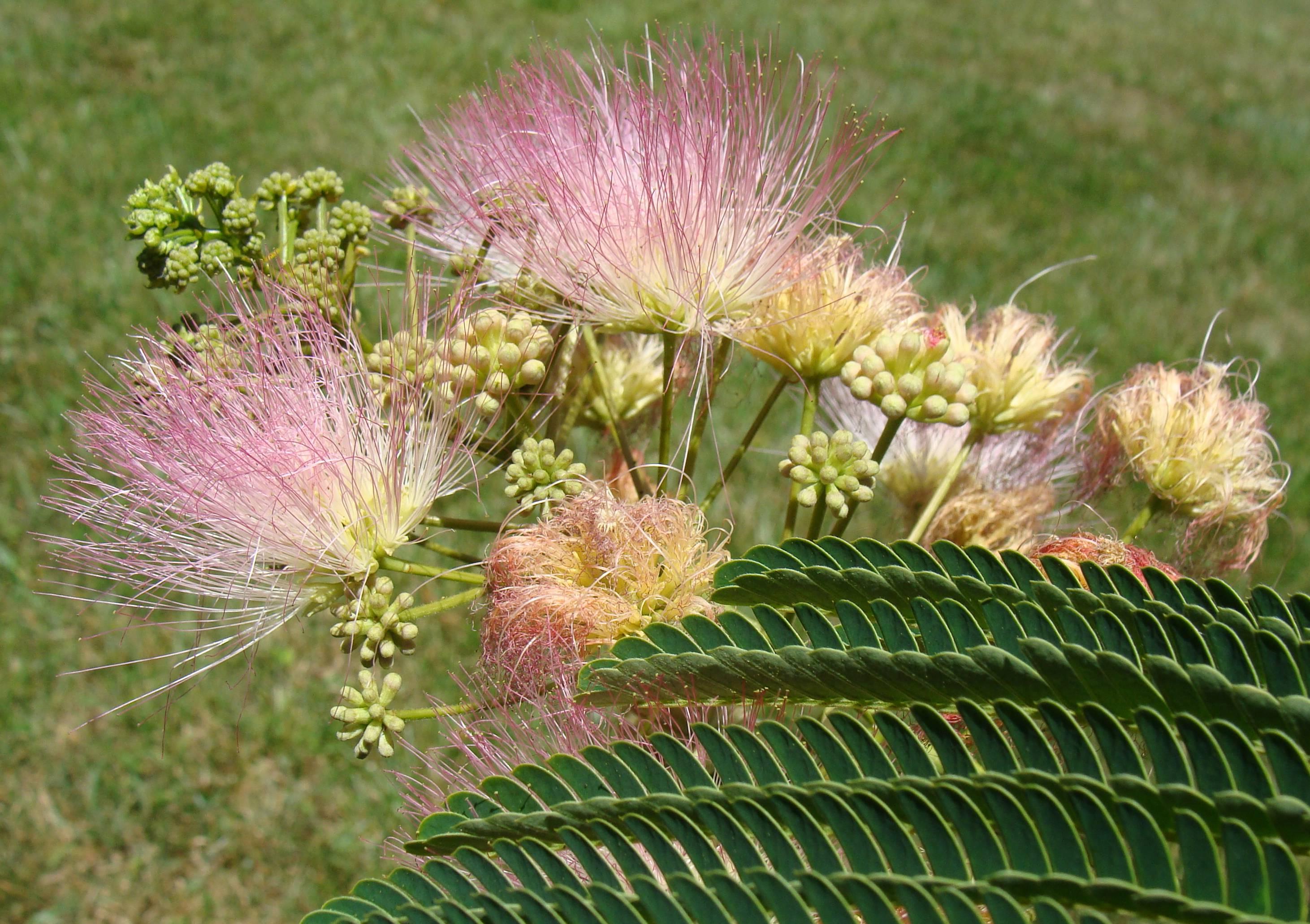 Mimosa Tree (15)