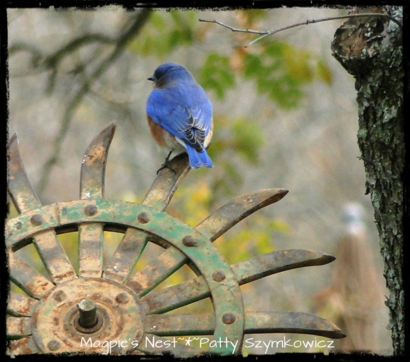 Magpies Nest Bluebird of Happiness