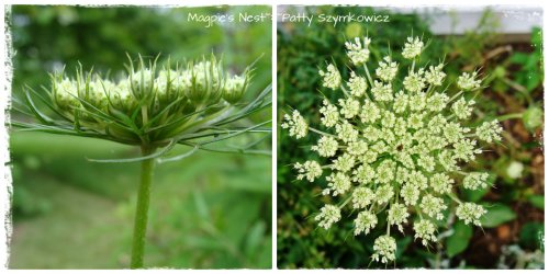 Queen Anne's Lace Fresh Collage