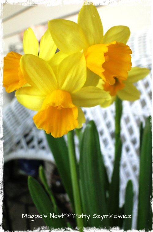 Trader Joes Daffodils