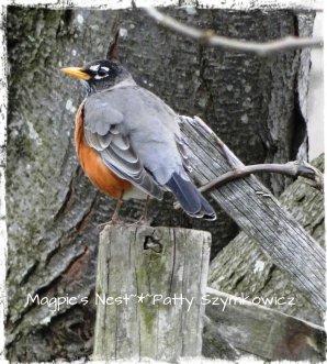 Robin in March