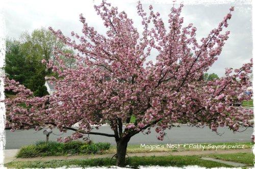 Kwanzan Cherry Violet Lilac Mandala