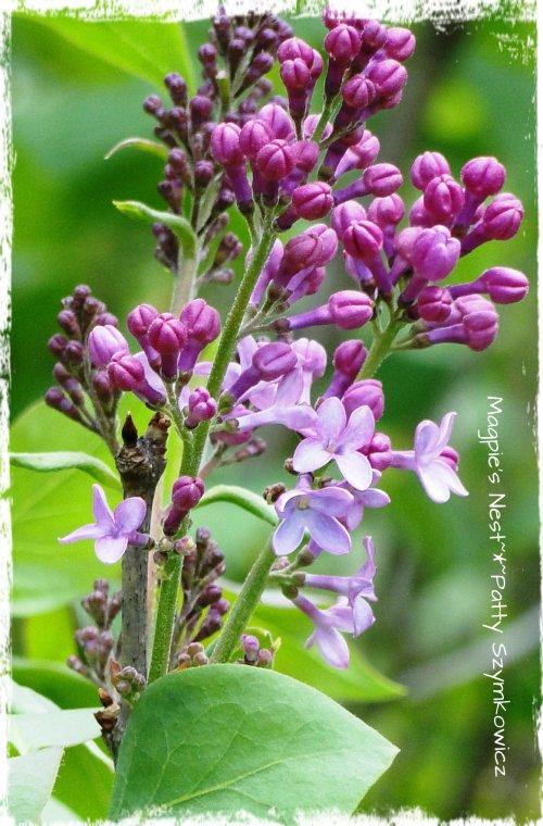 Lilac Tea Time (4)