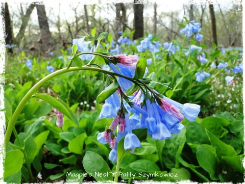 Virginia Bluebells Mertensia virginica
