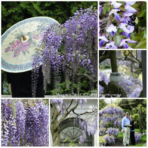 Longwood Gardens Wisteria Sampler
