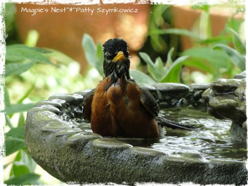 Magpie's Nest Robin in the bath