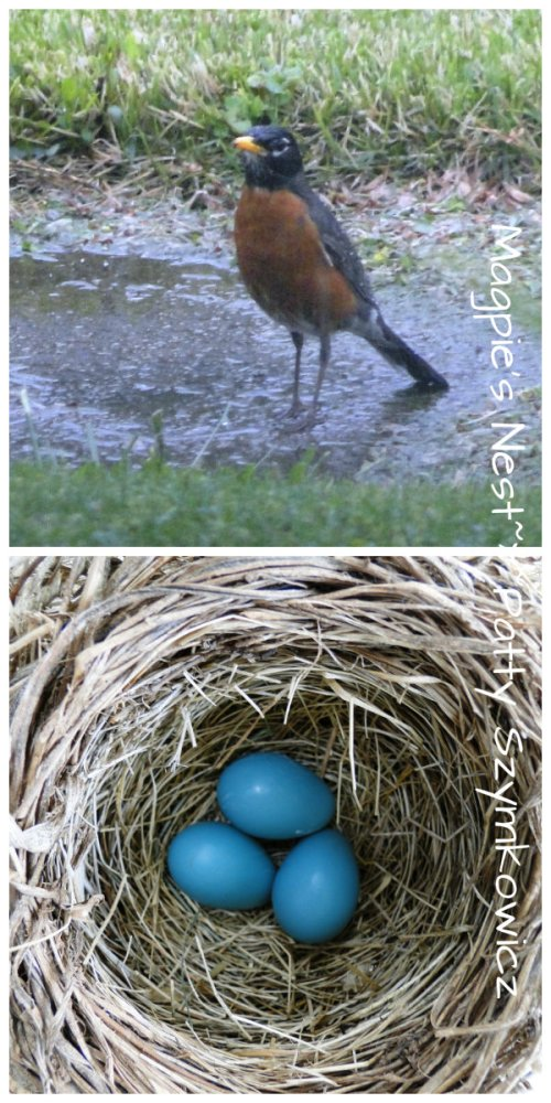 Robins almost clutch of eggs