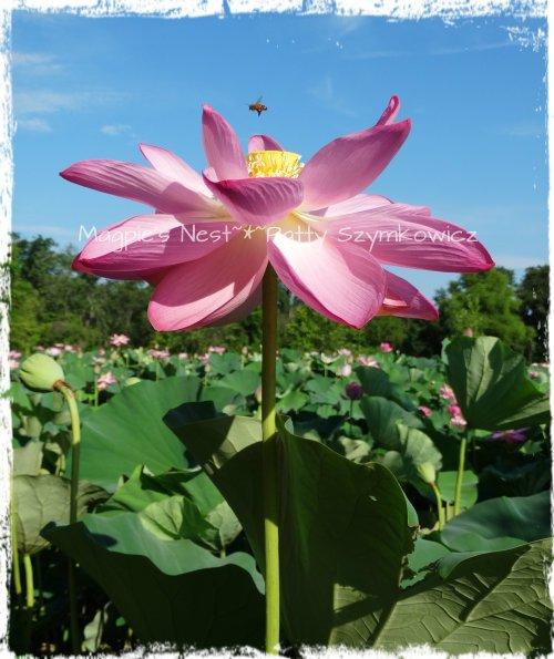 Bee Happy Lotus