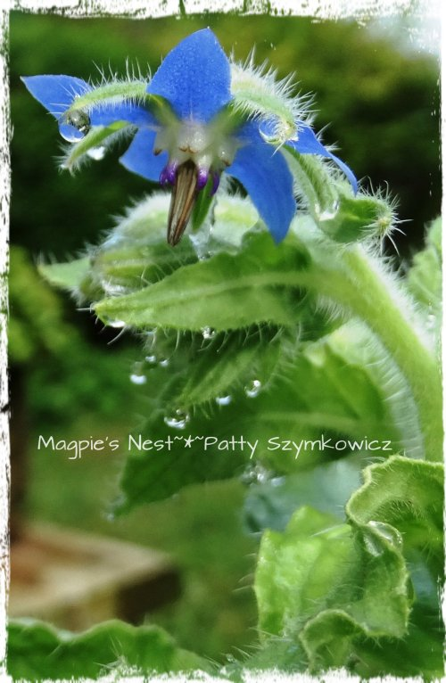 Borage Blossoms with dewdrops