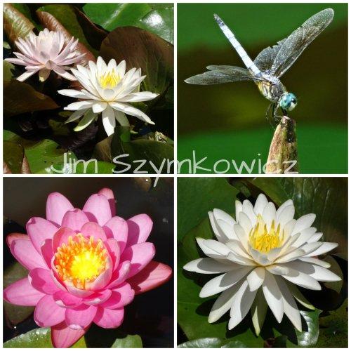 Jim Szymkowicz Waterlily Dragonfly