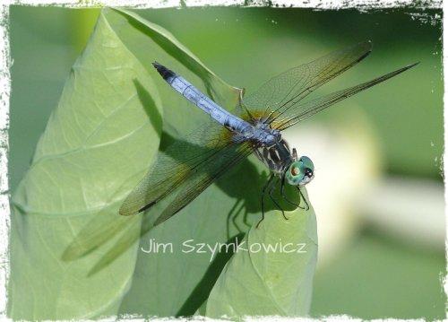 JJJ Dragonfly
