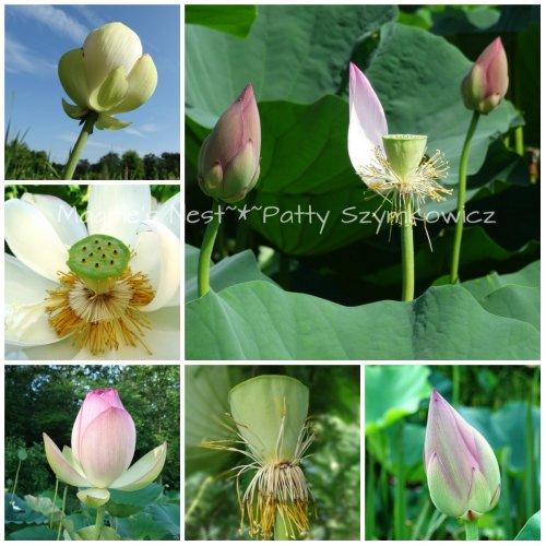 July Lotus Buds
