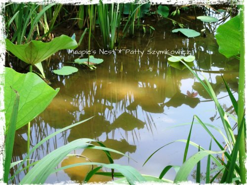 Kenilworth Aquatic Gardens reflection