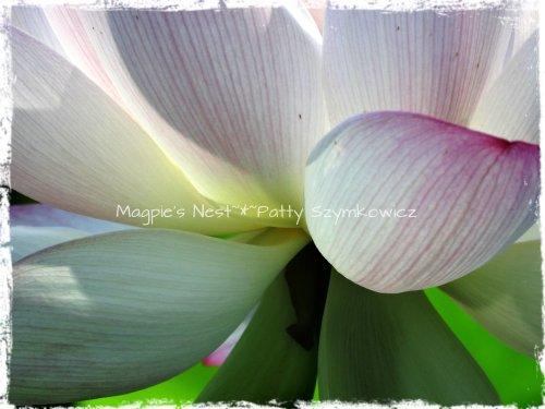 Lotus Closeup