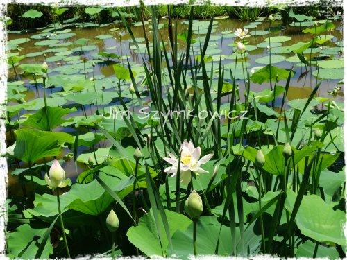 Lotus just begun