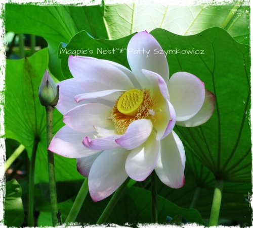 Lotus Perfection