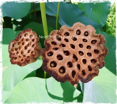 Lotus Pods
