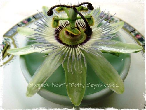 Passiflora Passion Flower (1)