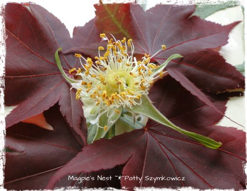 Patty Szymkowicz Rose Bloodgood Maple Mandala