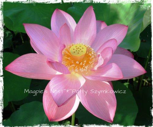 Sacred Pink Lotus