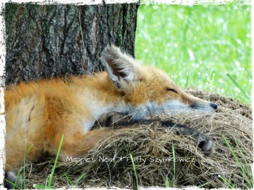 #6 Red Fox napping, Virginia