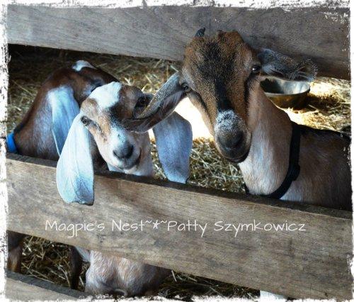 #11 goats