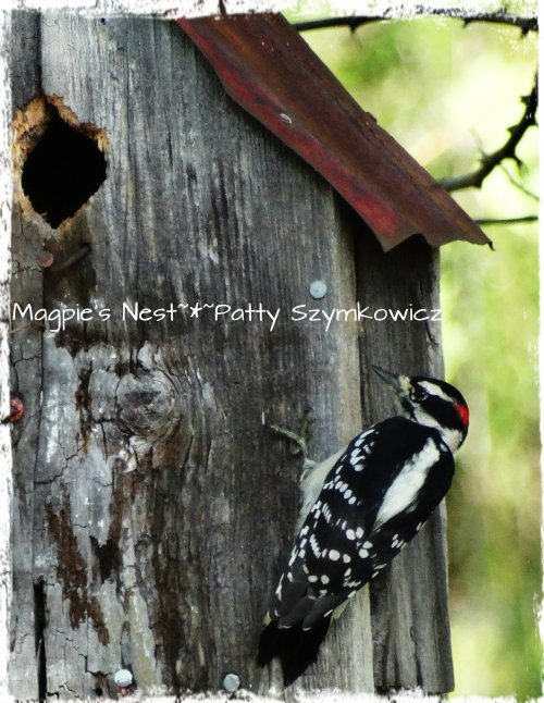 Busy Woodpecker in our garden