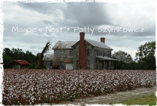 Wordless Wednesday: Cotton field near Edenton, North Carolina
