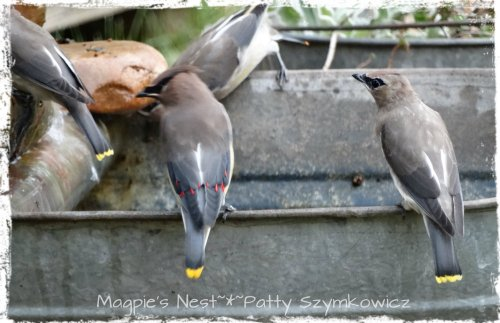 Busy Cedar Waxwings