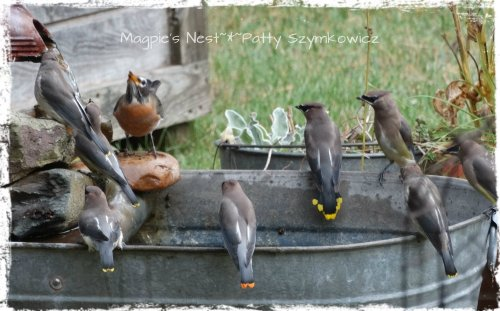 the gang's all here Cedar Waxwings (1)