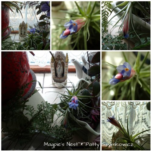 Tillandsia Feb Bloom