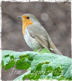 Robin Lake District UK