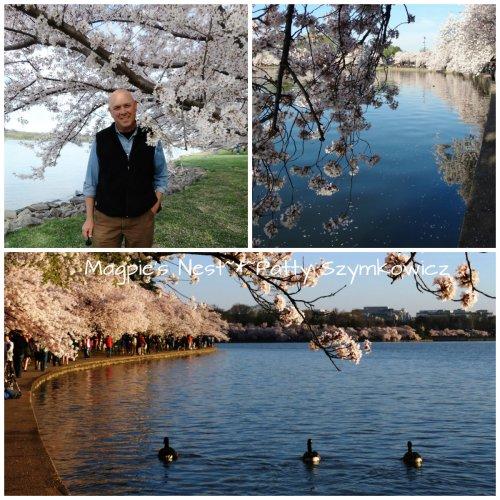 12 April 2014 JJJ Cherry Blossoms