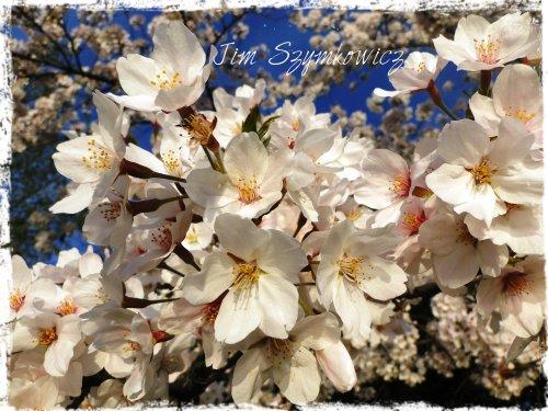 BLUE sky blossom closeup