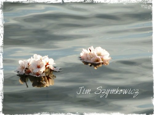 Floating reflected blossoms