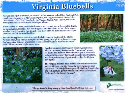 Virginia Bluebells Magpies Nest Patty Szymkowicz