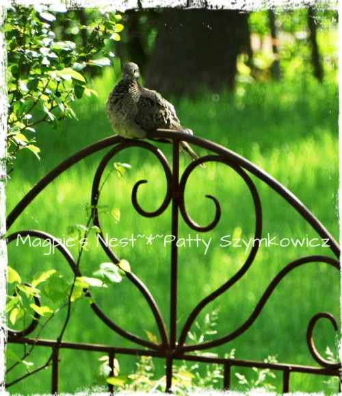 Mourning Dove on our garden gate