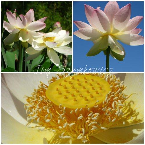 Blue Sky Lotus Day