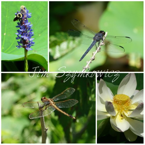 Dragonflies and bees
