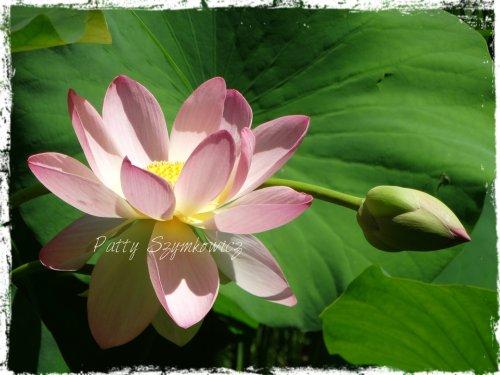 Lotus and sideway Bud