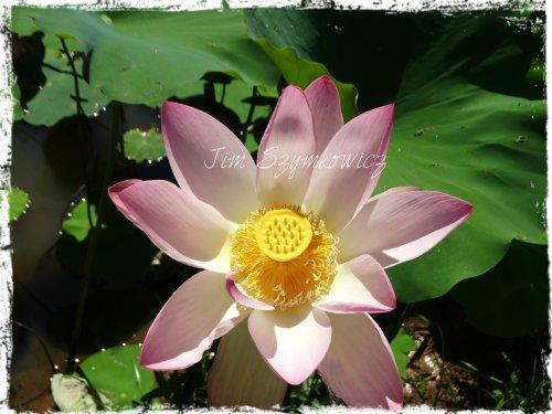 perfect lotus