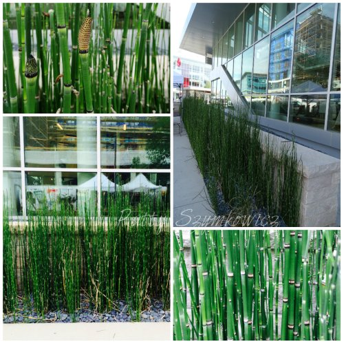 Magpie's Nest Horsetail plantings
