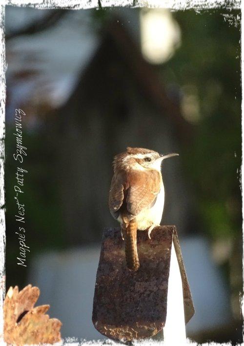 Magpie's Nest Garden Wren