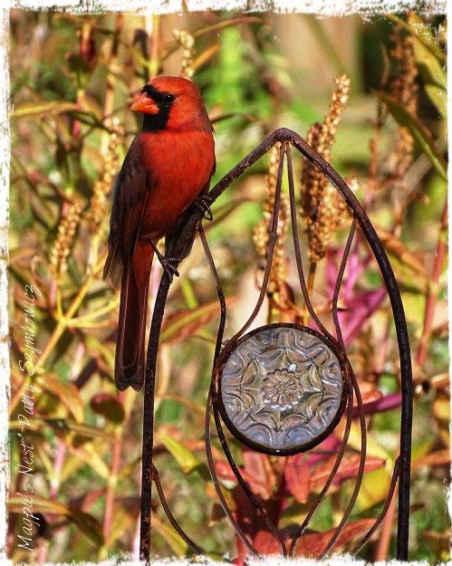 Magpie's Nest Mr Cardinal
