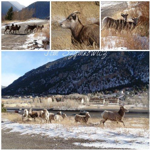Bighorn Sheep  Georgetown, CO