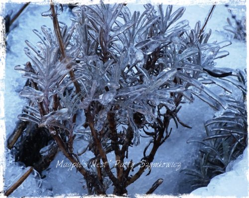 Magpie's Nest iced Lavender