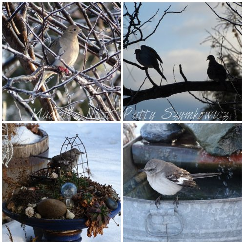 Magpie's Nest Mourning Doves and Mockingbirds